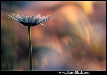 Daisy at Sunrise